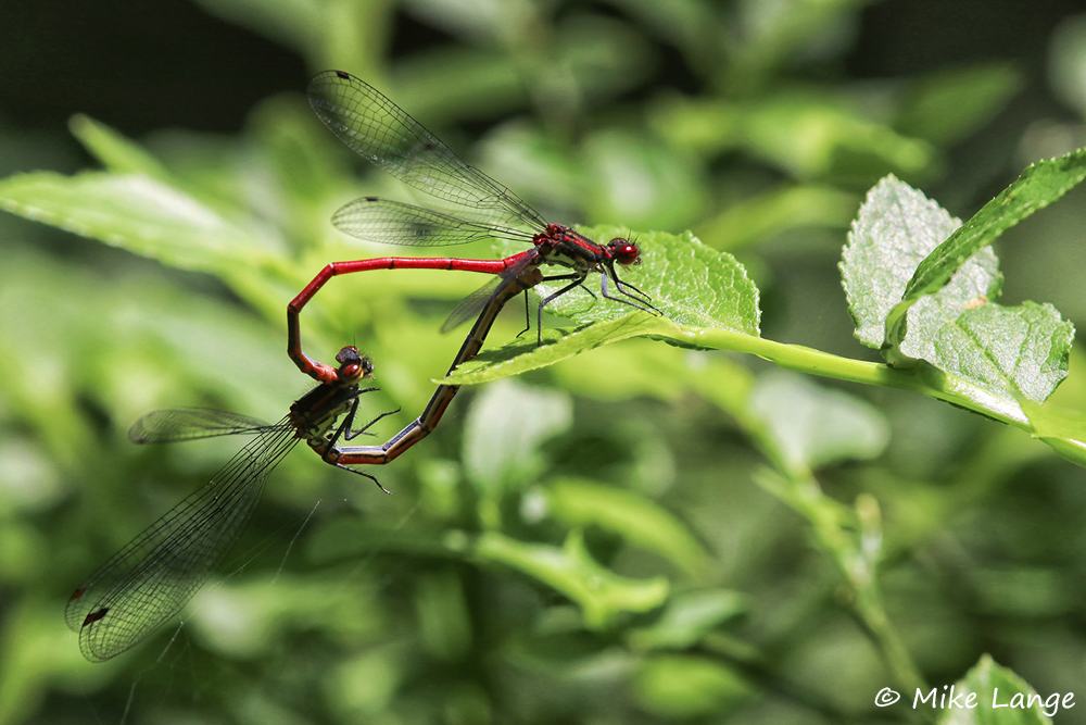 Frühe Adonislibelle Paarung