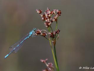 Die Speer Azurjungfer ist Libelle des Jahres 2020