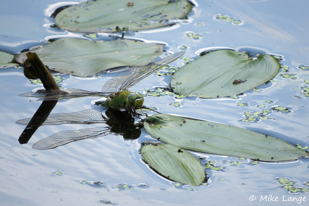 Große Königslibelle Eiablage