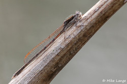 Gemeine Winterlibelle Männchen