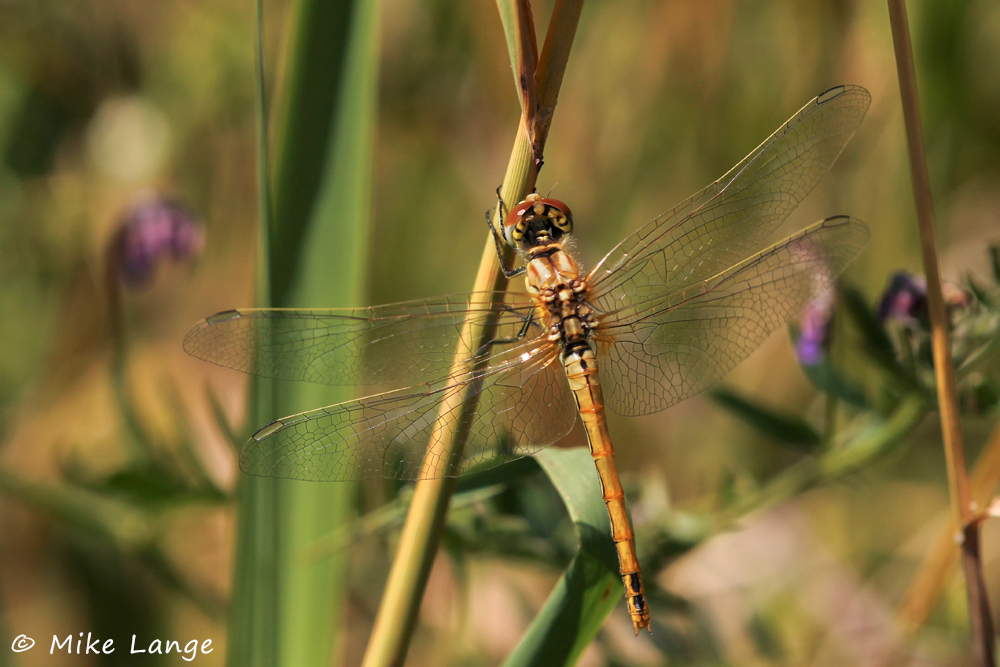 Frühe Heidelibelle Weibchen
