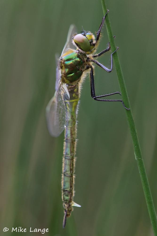 Glänzende Smaragdlibelle Weibchen