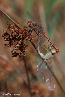 Südliche Heidelibelle Paarung