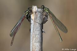 Frühe Adonislibelle Männchen und Weibchen