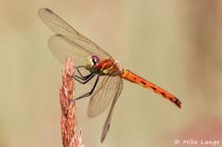 Sumpf Heidelibelle Weibchen