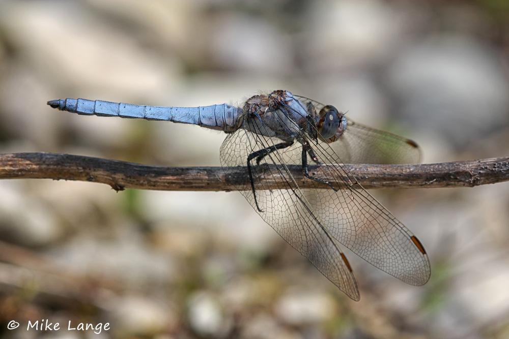Südlicher Blaupfeil Männchen