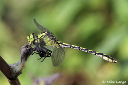 Grüne Flussjungfer Männchen
