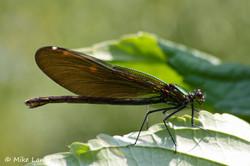 Blauflügel Prachtlibelle Weibchen