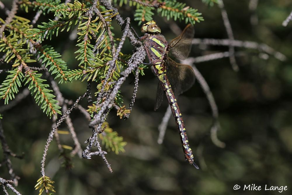 Torf Mosaikjungfer Weibchen