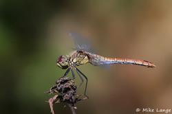Blutrote Heidelibelle Weibchen