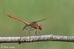 Südliche Heidelibelle Männchen