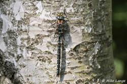 Torf Mosaikjungfer Männchen