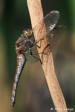 Große Heidelibelle Weibchen
