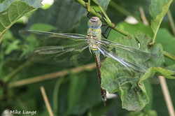 Kleine Königslibelle Weibchen