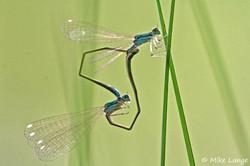 Zwerglibelle Paarung