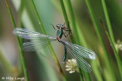 Glänzende Binsenjungfer Weibchen