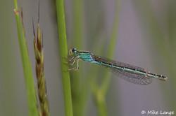 Kleine Pechlibelle Weibchen