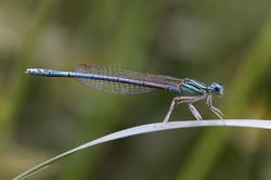 Blaue Federlibelle