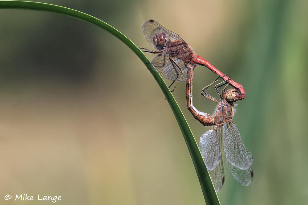 Gemeine Heidelibelle Paarung