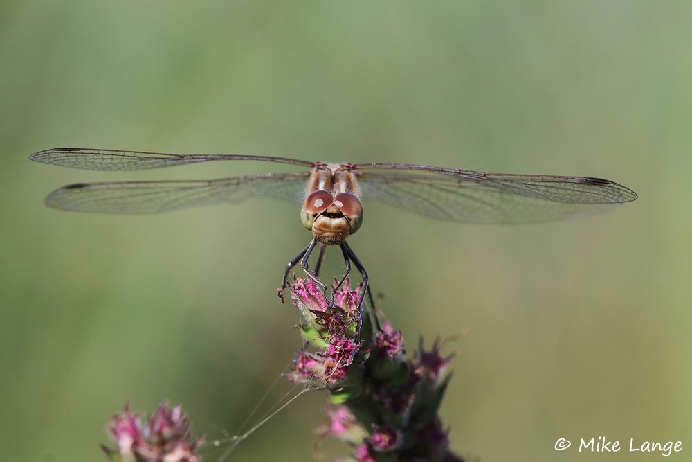 Gemeine Heidelibelle Weibchen
