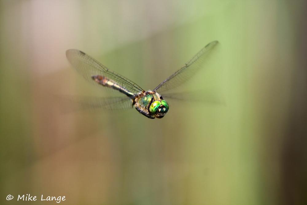 Falkenlibelle Männchen