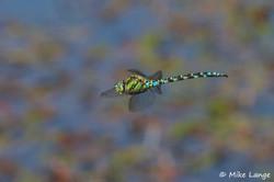 Blaugrüne Mosaikjungfer Männchen