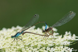 Große Pechlibelle Paarung