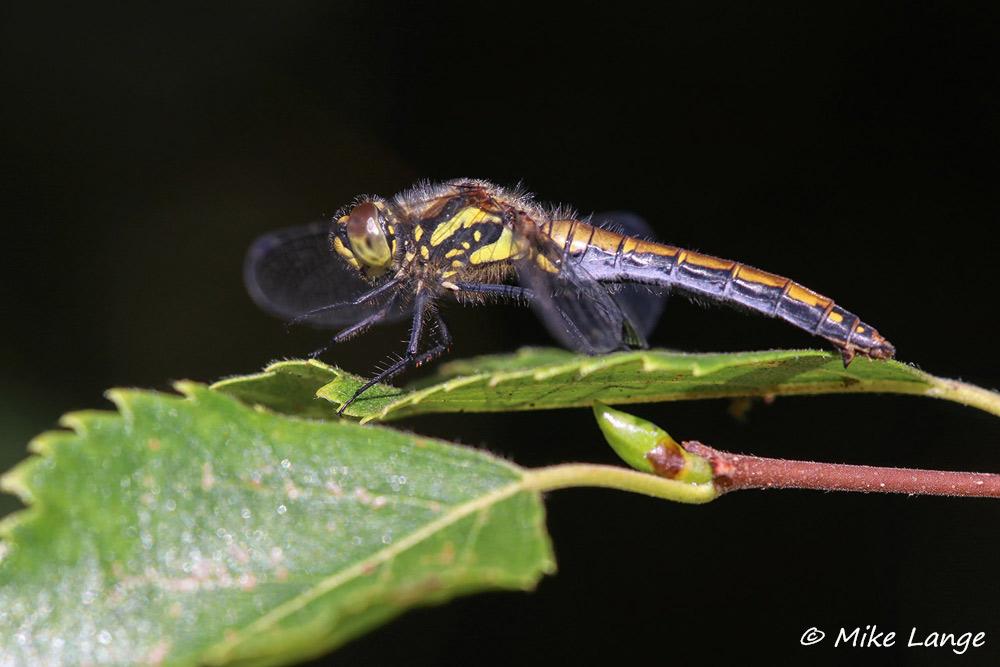Schwarze Heidelibelle Weibchen