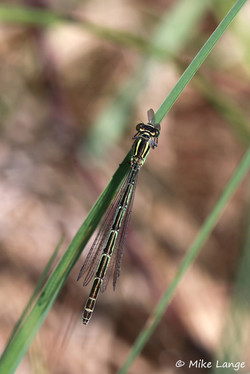 Speer Azurjungfer Weibchen
