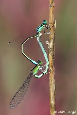 Kleine Pechlibelle Paarung