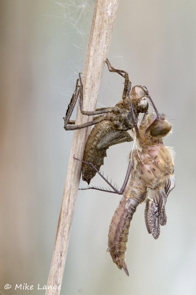 Falkenlibelle Schlupf