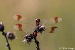 Gebänderte Heidelibelle Männchen