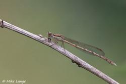 Gemeine Winterlibelle Weibchen