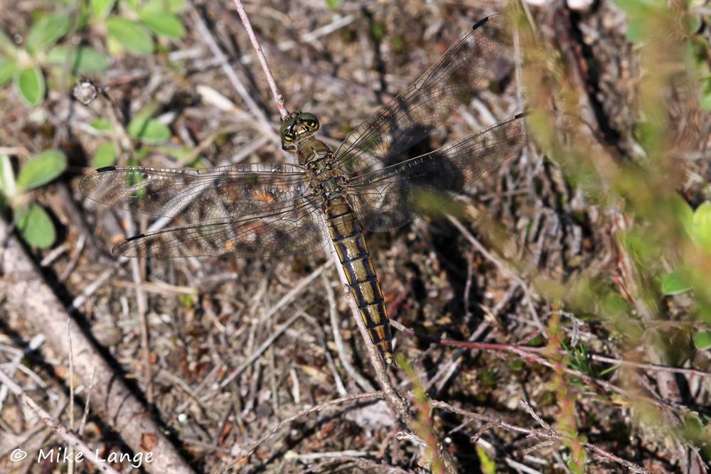 Großer Blaupfeil Weibchen