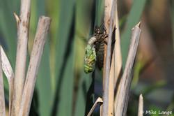 Große Königslibelle Schlupf