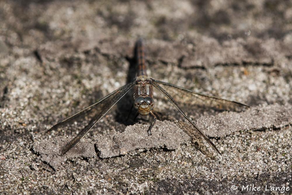 Kleiner Blaupfeil Weibchen
