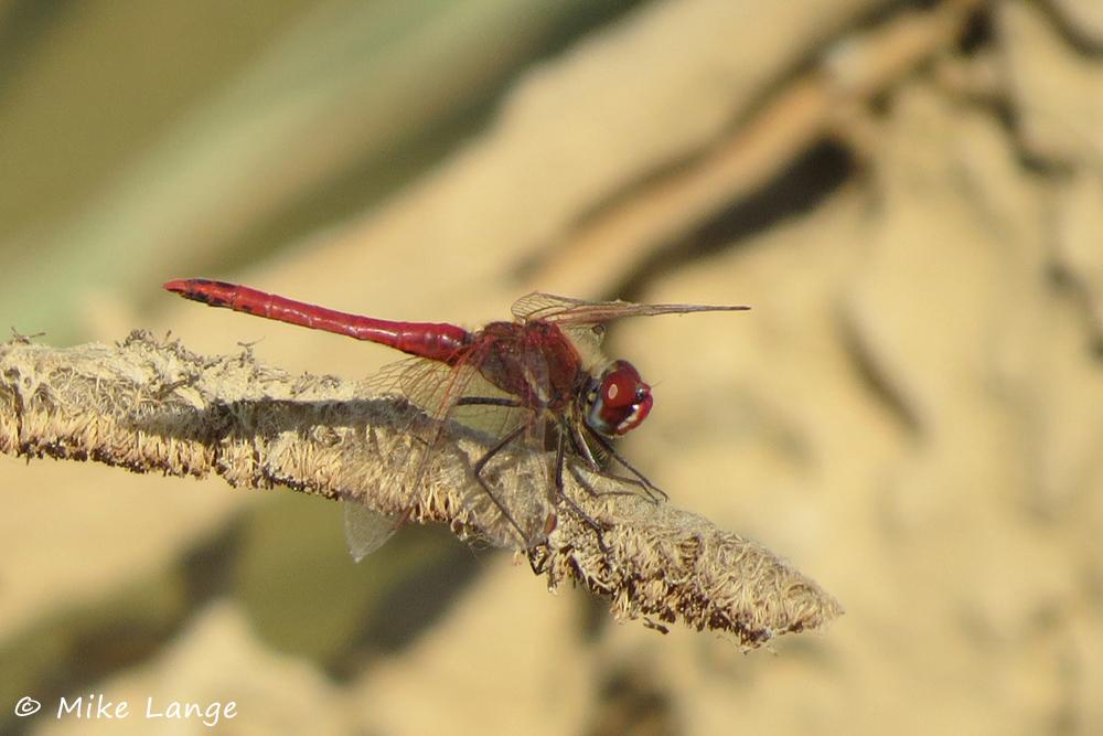 Frühe Heidelibelle Männchen