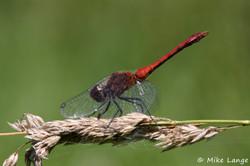 Blutrote Heidelibelle Männchen
