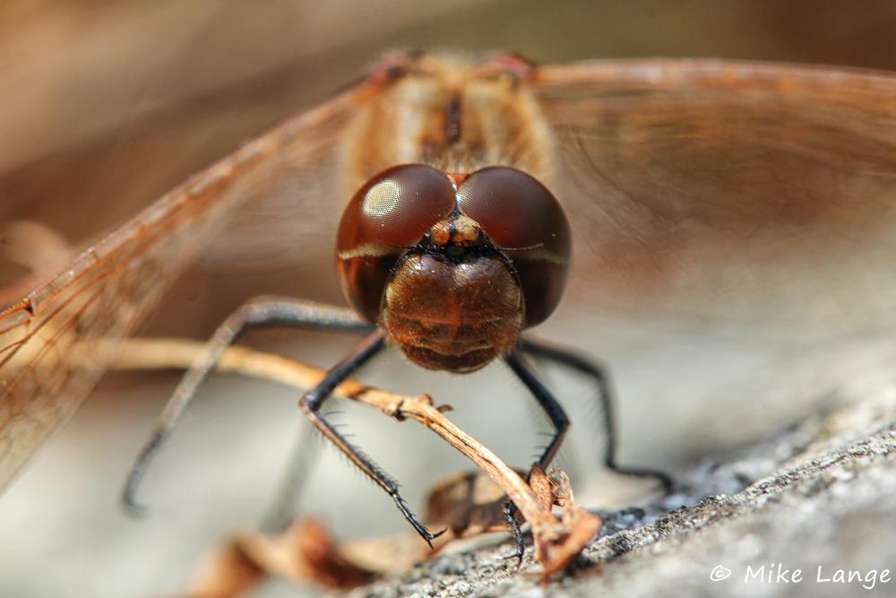 Gemeine Heidelibelle Männchen