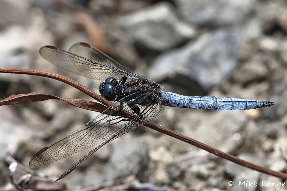 Kleiner Blaupfeil Männchen