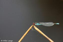 Kleines Granatauge Männchen