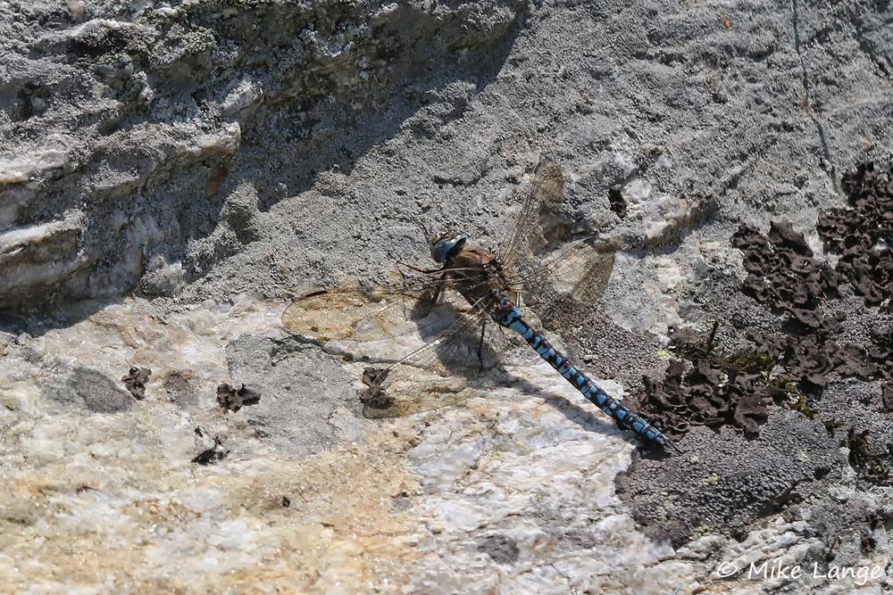 Alpen Mosaikjungfer Männchen