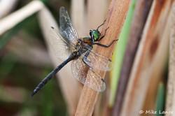 Gefleckte Smaragdlibelle Männchen