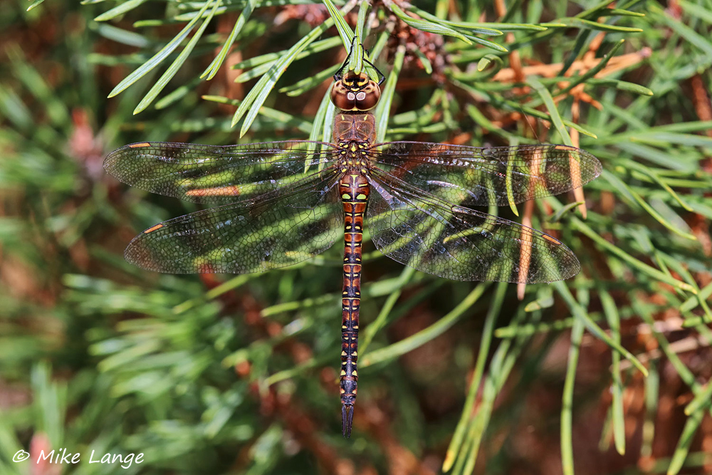Herbst Mosaikjungfer Weibchen
