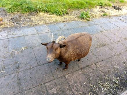 Cute fat goat