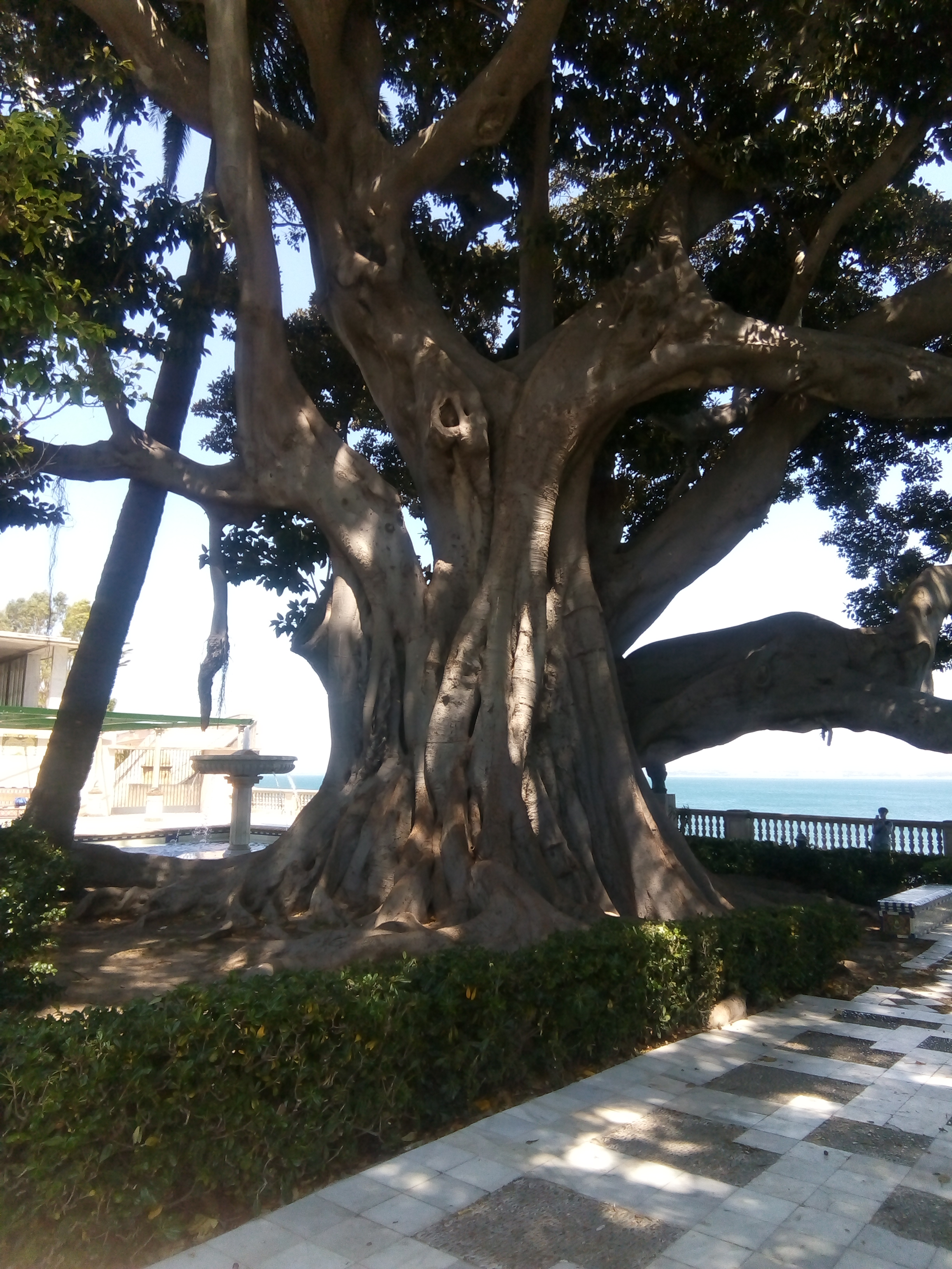 Morton Bay Fig at the end of our street