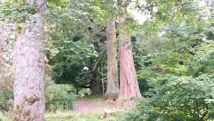 The tall trees of the Big Wood,