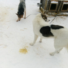 Watch out where the Husky's go