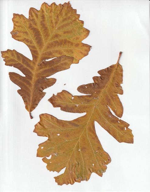 Two Yellow oak leaves