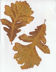 Two Yellow oak leaves